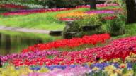 MS Shot of Tulip garden / Tachikawa, Tokyo, Japan