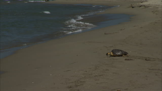 WS Shot of Turtle on beach of marina d'alberese and walking to freedom / Grosseto, Tuscany, Italia