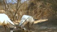 MS SLO MO Shot of two Arabian oryx (Oryx leucoryx) fighting at Yotvata Hai-Bar Nature Reserve, with horns clashing / Yotvata, Arava,Negev Desert, Israel