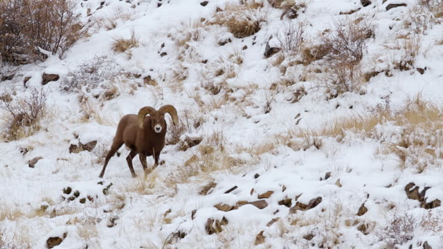 MS TS Shot of two bighorn sheep rams butting heads in snow / Georgetown, Colorado, United States