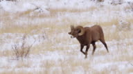 MS PAN Shot of two bighorn sheep rams butting heads in snow / Georgetown, Colorado, United States