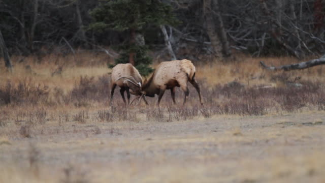 MS TS Shot of two bull elk fighting during the evening in meadow / Estes Park, Colorado, United States