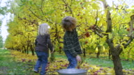 MS SLO MO Shot of two children excitedly pick bright ripe red apples in orchard with sun shines and flares behind them / Hood River, Oregon, United States