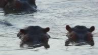 MS Shot of two hippos heads in water / Lukuzi, Eastern, Zambia