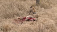 MS Shot of Two hyens pulling meat of kudu carcass  / Kruger National Park, Mpumalanga, South Africa