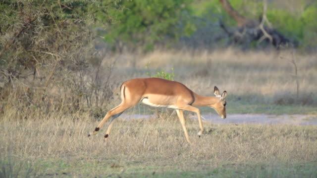 MS SLO MO TS Shot of Two impala running across grassland  / Kruger National Park, Mpumalanga, South Africa