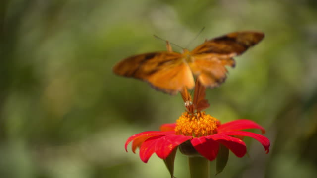 CU SLO MO Shot of Two monarch butterfly's on red flower / Santa Barbara, California, United States