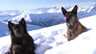 Shot of two mountain rescue dogs sitting in the snow.