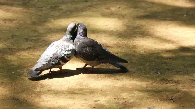 MS Shot of two pigeons kiss and grooming at Zoushigaya Kishimojin Temple / Zoshigaya, Toshima Ku, Tokyo, Japan