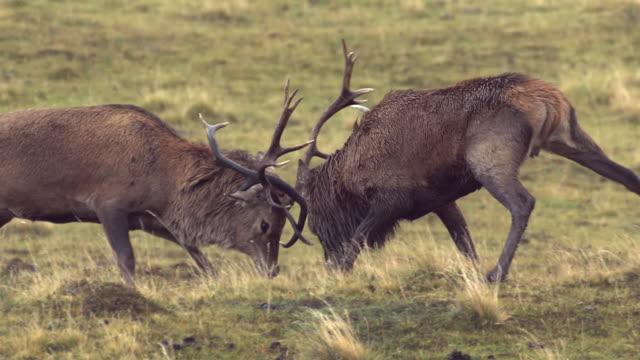 MS SLO MO TS Shot of Two red deer stags Cervus elaphus fighting / Isle of Rum, Hebrides, Scotland