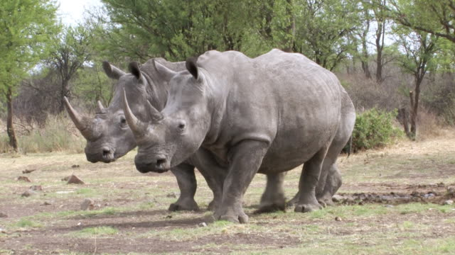 MS Shot of two white rhinoceros grazing / Klerksdorp, North West, South Africa