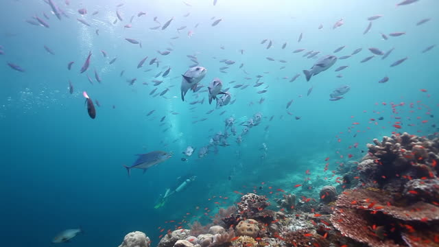 MS Shot of Underwater scenery with schooling snappers fish and fusiliers fish / Sipadan, Semporna, Tawau, Malaysia