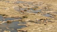 WS Shot of Vicunia, Vicugna running through Marshland in high Andes / San Pedro de Atacama, Norte Grande, Chile