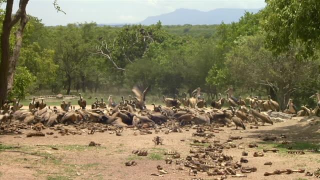 MS Shot of vultures feeding on bones at Hoedspruit Endangered Species Centre / Limpopo, South Africa
