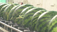 CU Shot of Watermelons moved by conveyer belt / Chungcheongnamdo, South Korea