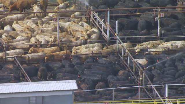 MS AERIAL Shot of White and black cattle in cattle pen / Nebraska, United States