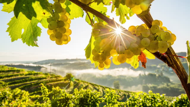 T/L 8K shot of white grapes at sunrise