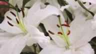 ECU Shot of white lilies, Keukenhof Gardens / Lisse, South Holland, Netherlands