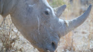 ECU Shot of White rhinoceros (Ceratotherium simum) in savannah / Pilanesberg Game Reserve, North West Province, South Africa