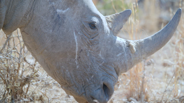 ECU Shot of White rhinoceros (Ceratotherium simum) in savannah / Pilanesberg Game Reserve, North West Province, South Africa