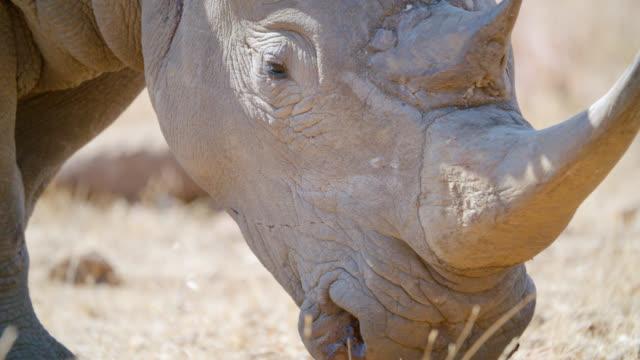 ECU Shot of White rhinoceros (Ceratotherium simum) looking at camera / Pilanesberg Game Reserve, North West Province, South Africa