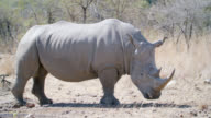 MS Shot of White rhinoceros (Ceratotherium simum) standing / Pilanesberg Game Reserve, North West Province, South Africa