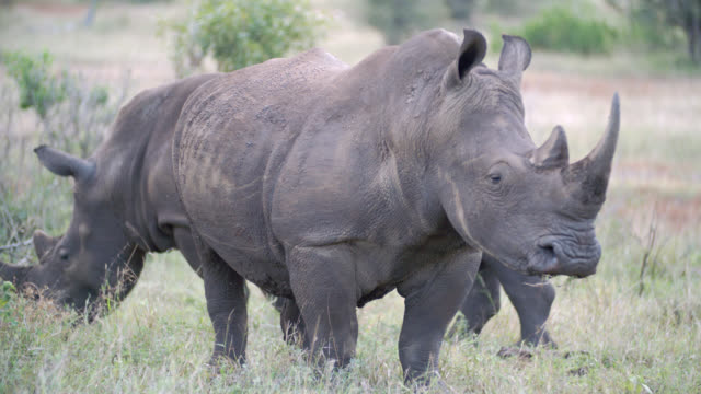MS TS Shot of White rhinoceroses (Ceratotherium simum) eating grass / South Africa