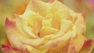 CU T/L Shot of white rose flower blossoming / Studio City, California, United States