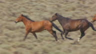 CU AERIAL TS ZO Shot of wild horses running in Wind River Indian Reservation / Wyoming, United States