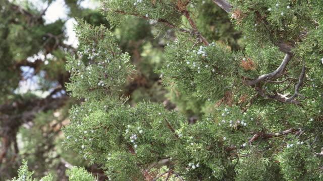 'MS Shot of Wild Juniper berries on branch / Bend, Oregon, United States '