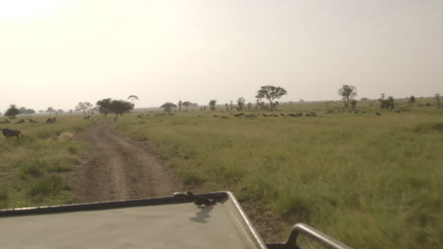 POV shot of wildebeest and zebra seen from a safari vehicle driving through the Serengeti, Tanzania.