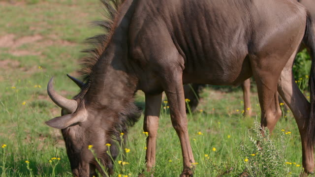 CU TU  Shot of  Wildebeest grazing / Pilanesberg, Gauteng, South Africa
