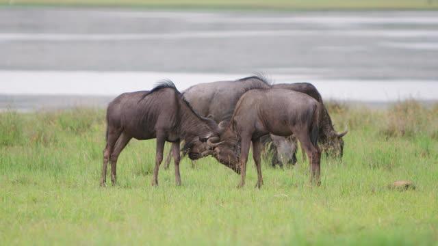WS SLO MO Shot of  Wildebeest mock fighting / Pilanesberg, Gauteng, South Africa
