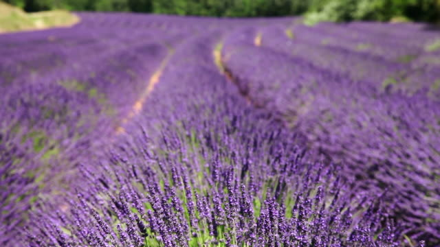 MS R/F Shot of wind blowing through field of lavender flowers / Vanlensole, Provence Alpes Cote d'Azur, France