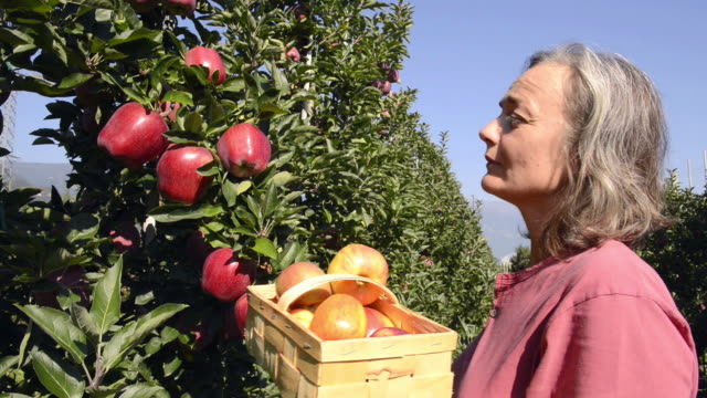 MS Shot of woman picking red apple from tree in basket / Merano, Trentino, South Tyrol, Italy