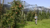 MS Shot of woman walking in an apple orchard and touching apple on tree / Merano, Trentino, South Tyrol, Italy