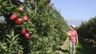 MS Shot of woman walking in apple orchard and picking red apple from tree / Merano, Trentino, South Tyrol, Italy