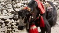 CU TS Shot of yak carravan walking with carrying load in Mt Everest, Himalayas / SoluKhumbu, Nepal