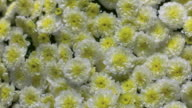 CU PAN SLO MO Shot of yellow and white flowers with pouring drops of water/ Studio, New Jersey, United States