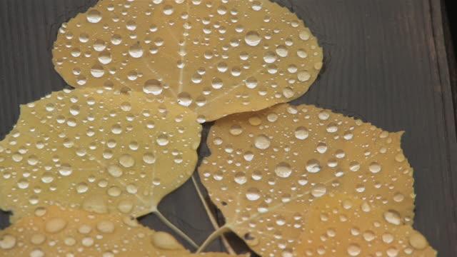 CU Shot of Yellow Aspen leaves with rain drops / Telluride, Colorado, United States