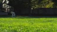 MS SLO MO TS Shot of Yellow Lab chasing ball / Santa Cruz, California, United States