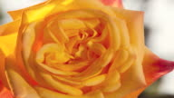 CU T/L Shot of yellow rose flower blooming / Studio City, California, United States