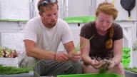 MS SLO MO Shot of Young couple separating/sorting fresh onions in green house at organic farm  / Chatham, Michigan, United States