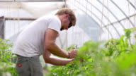 MS SLO MO PAN Shot of Young farmer tends to plants in green/hoop house organic farm / Chatham, Michigan, United States