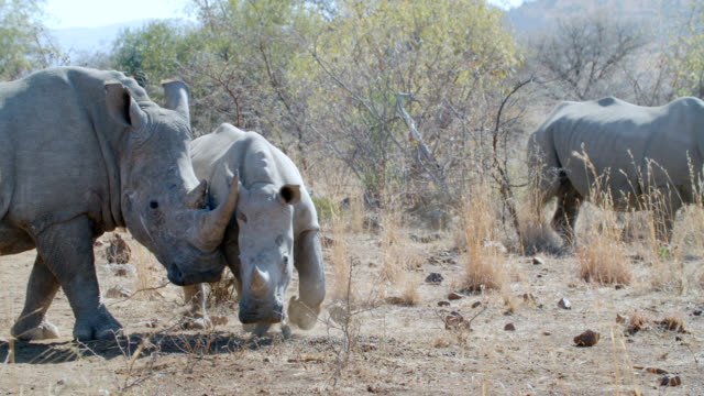 MS TS Shot of Young white rhinoceros (Ceratotherium simum) in savannah / Pilanesberg Game Reserve, North West Province, South Africa