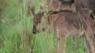 MS Shot of  young Wildebeest, few days old, grazing / Pilanesberg, Gauteng, South Africa