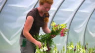 MS SLO MO TS Shot of Young woman picks flowers in green/hoop house at organic farm / Chatham, Michigan, United States