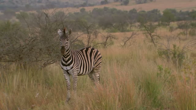 MS SLO MO Shot of Zebra looking around, Pilanesberg Game Reserve / North West Province, South Africa