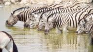 MS Shot of Zebras drinking water / Etosha National Park, Namibia