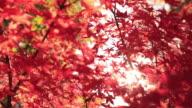 CU Shot ofAutumn leaves blowing in breeze / Matsumoto, Nagano Prefecture, Japan